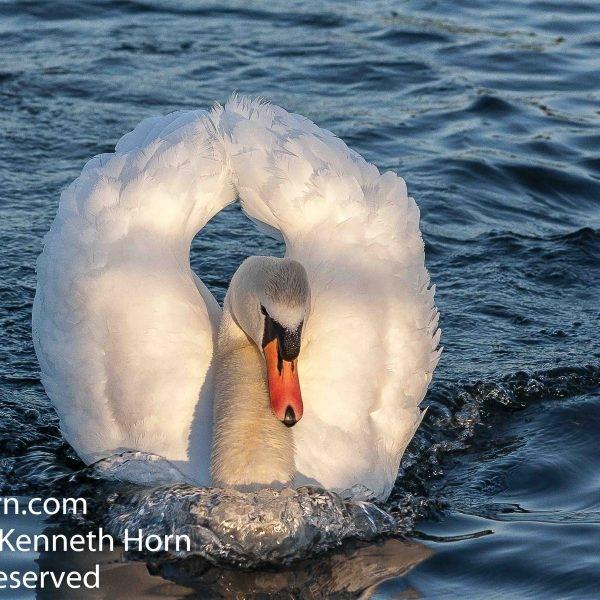 Swan at Herrington Country Park