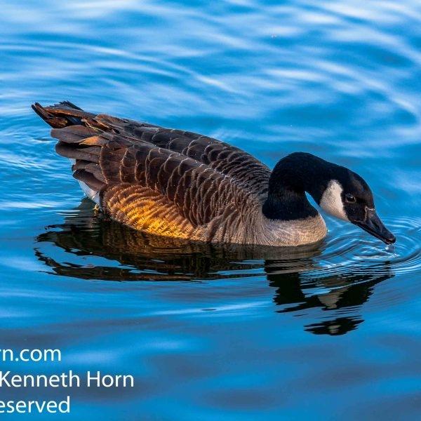 Canada Goose at Herrington Country Park