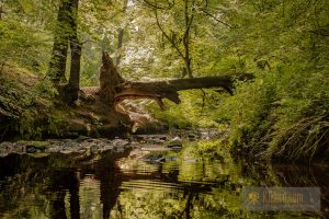 Fallen tree reflections